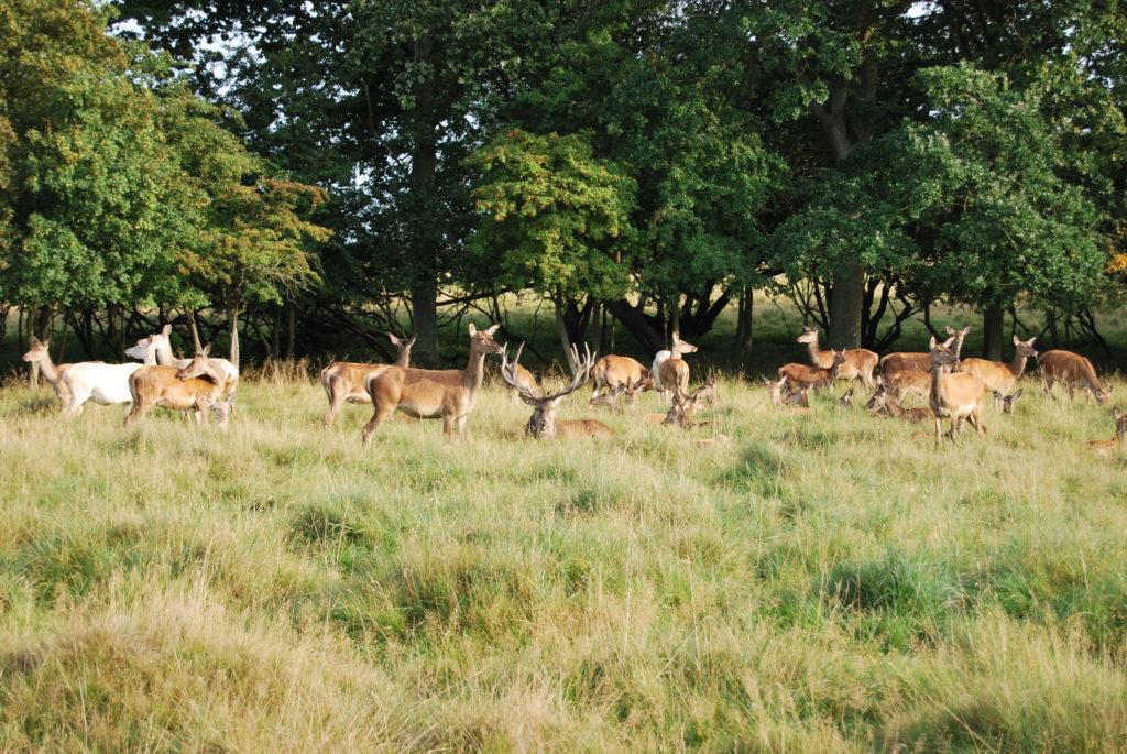 El Parque de los ciervos (Dyrehaven)