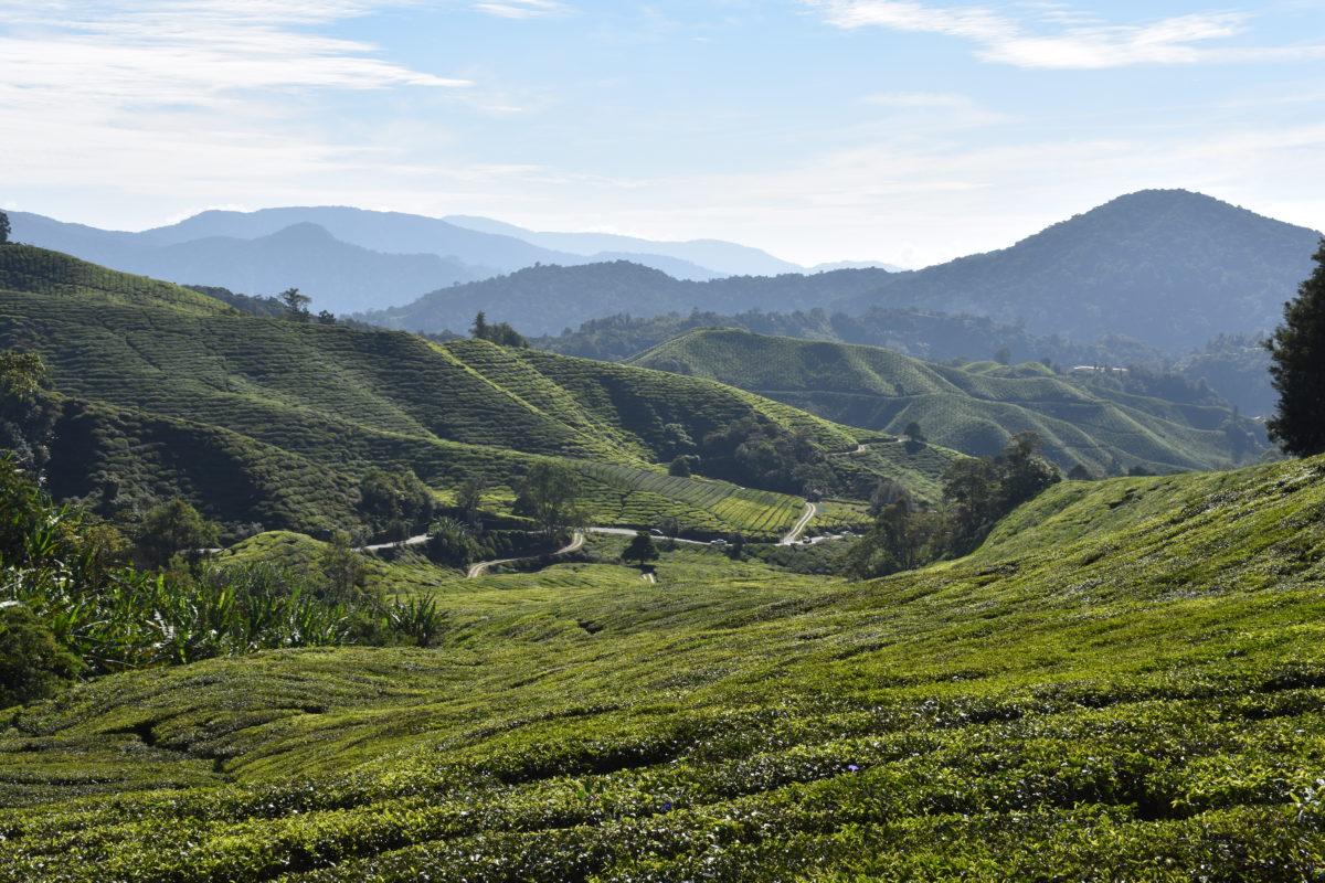 Las Cameron Highlands, extensas plantaciones de té